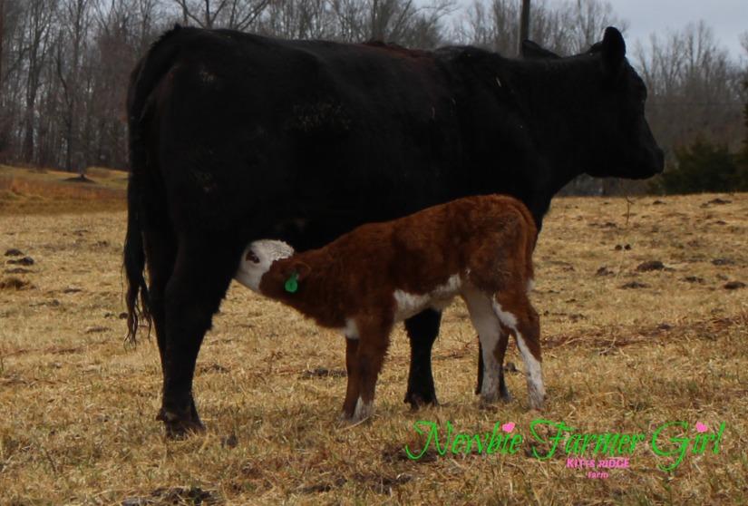 Calf and momma reunite and nurse