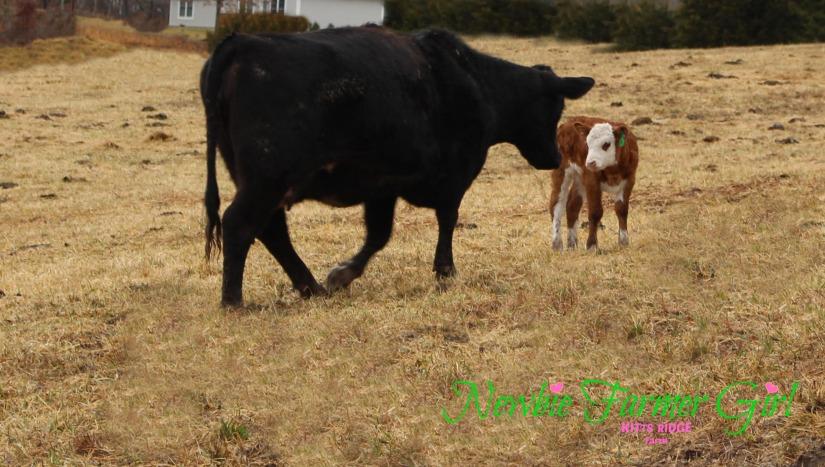 momma and calf reunite