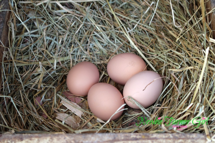 4-Eggs in Nest Box.jpg