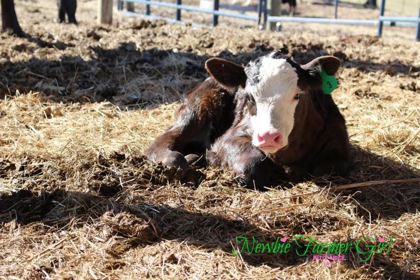 Calf # 3