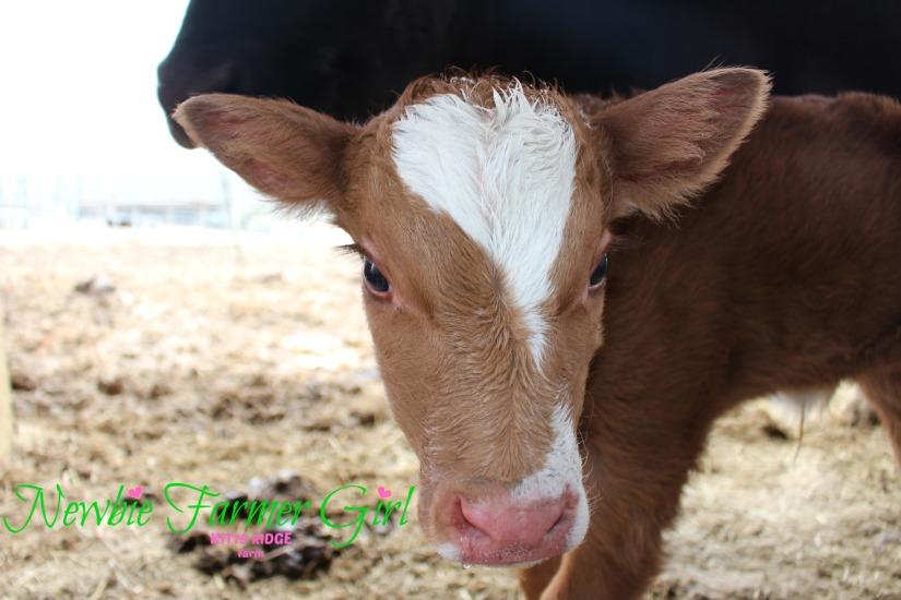 Calf # 4