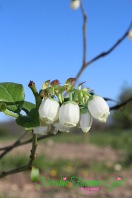 Blueberry flowers are so pretty
