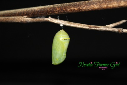 It will stay in the chrysalis 10-14 days