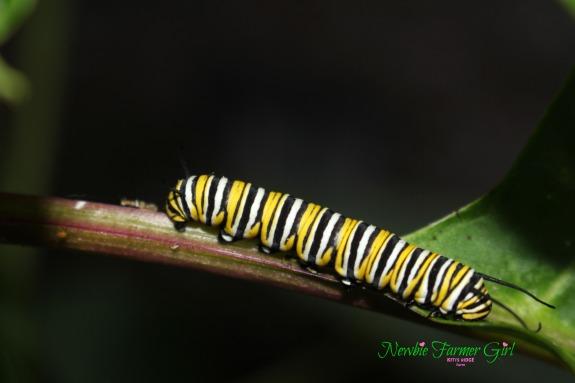 moarch caterpillar