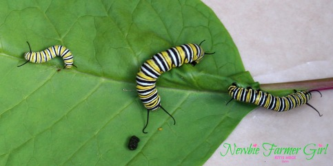 Monarch 3 different instar stages