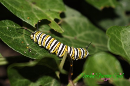 monarch caterpillar #2