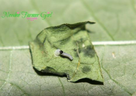 Monarch caterpillar eating on egg