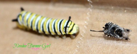 Monarch caterpillar molted