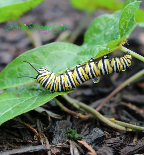 monarch caterpillar with water on back