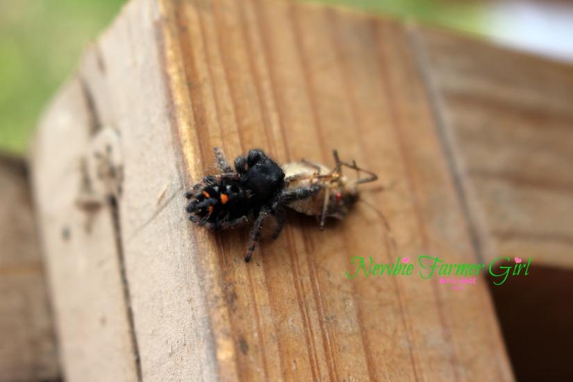 Bold Jumer Spider