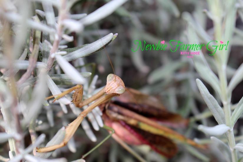 Pray Mantis 5